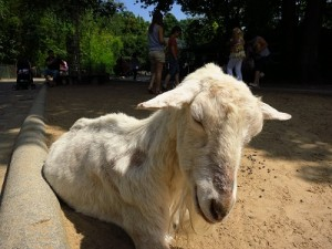 A distinguished gentleman of a goat...